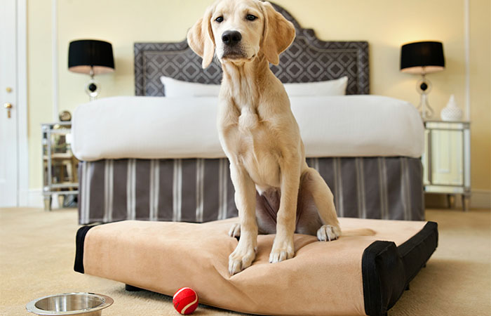 Pet-friendly guestroom with dog on dog bed at Fairmont Hotel Vancouver in Canada.